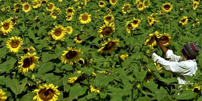 Les tournesols font partie des cultures permettant de produire des huiles végétales utilisées pour les agrocarburants.