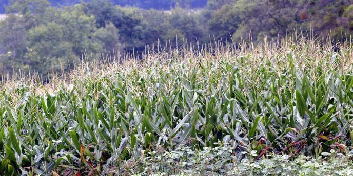 Une parcelle de maïs transgénique cultivé en plein champ près de Vic-Fezensac, à quelques kilomètres d'Auch, dans le Gers, en 2004.