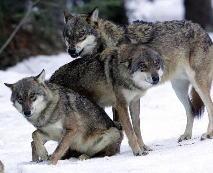 Des loups dans le parc national du Mercantour en France, le 16 décembre 2004.