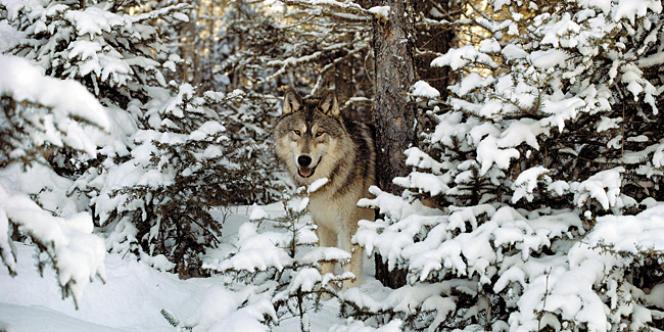 Le parc de Yelowstone compte au moins 98 loups répartis dans dix meutes.