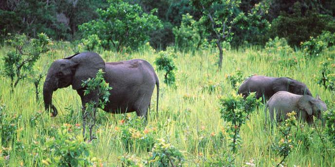 Une famille d'éléphants de forêts dans le parc naturel de la Lopé, au Gabon.