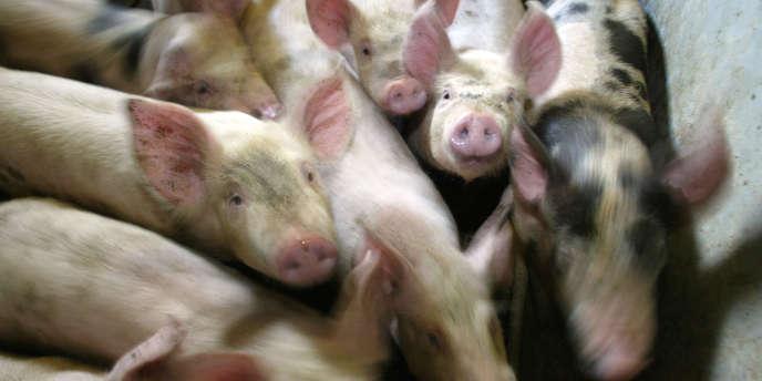 Jeunes porcs dans un élevage.