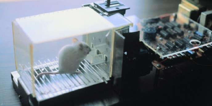 Un rat de laboratoire.