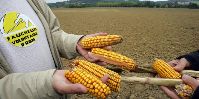 Des faucheurs volontaires montrent des débris d'épis de maïs transgénique, en octobre 2005.