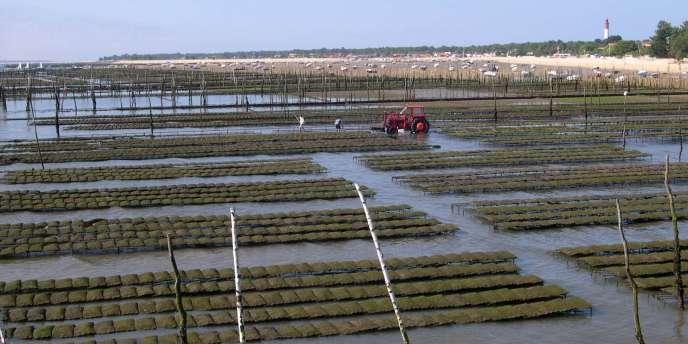 La mortalité des huîtres adultes intervient lors de périodes pluvieuses importantes et, selon les premiers tests réalisés par l'Ifremer, elle serait due à une bactérie, déjà mise en cause dans le cadre de la surmortalité des naissains.