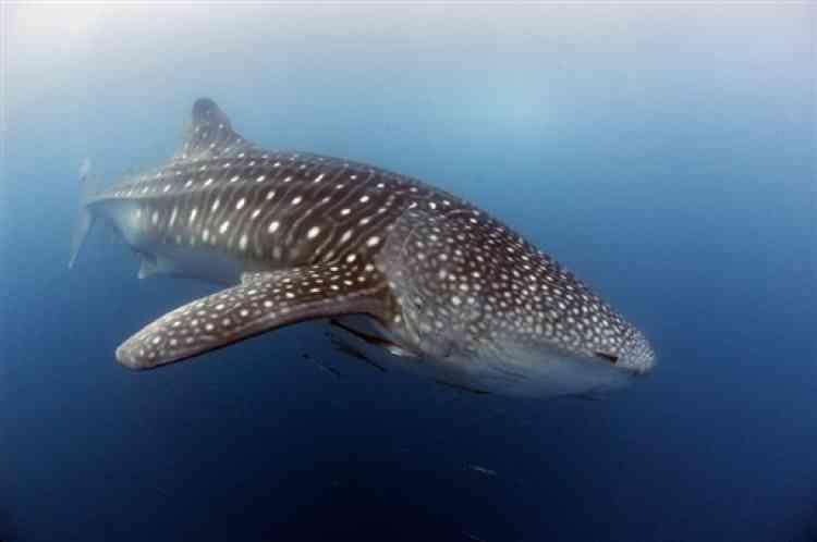 Le requin-baleine, une espèce de requin de haute mer menacée d'extinction selon une étude de l'UICN, publiée jeudi 22 mai.