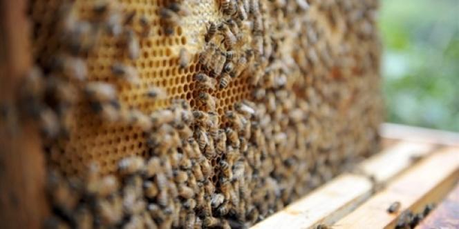 Les populations d'abeilles domestiques déclinent partout dans le monde.