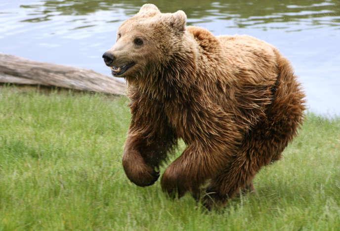 Un ours brun.