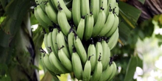 Le chlordécone a été utilisée comme pesticide dans les plantations de bananes en Guadeloupe et en Martinique entre 1973 et 1993.