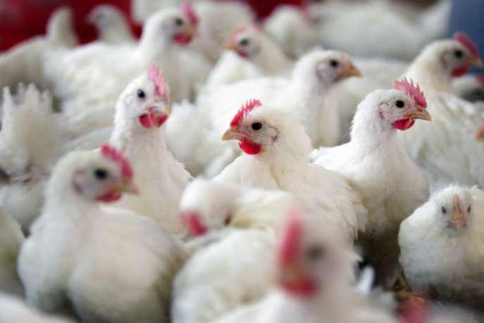 Plus de 1 200 dindes d'un élevage du nord de l'Italie sont mortes mi-décembre après avoir été contaminées par le virus de la grippe aviaire sous sa variante hautement pathogène H5N8.