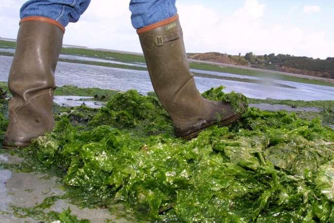 Les algues vertes en décomposition libèrent de l'hydrogène sulfuré à des concentrations qui peuvent être mortelles.