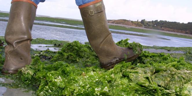 Algues vertes en septembre 2001 sur la plage de la Granville à Hillion près de Saint-Brieuc.