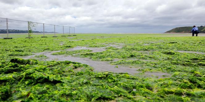 Une personne prend une photo des algues vertes sur la plage de Saint-Michel-en-Grève.