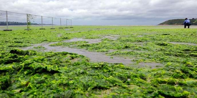 Une plage de Saint-Michel-en-Grève, recouverte d'algues vertes, en août 2009.