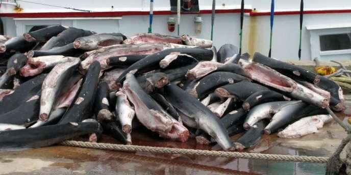Cliché, fourni par la Fondation micronésienne pour les requins, montrant des carcasses de requins supposées avoir été pêchés illégalement par un chalutier taïwanais aux Palaos.