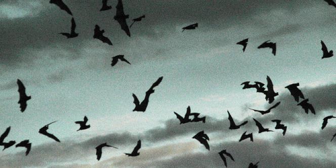 Vol de chauve-souris