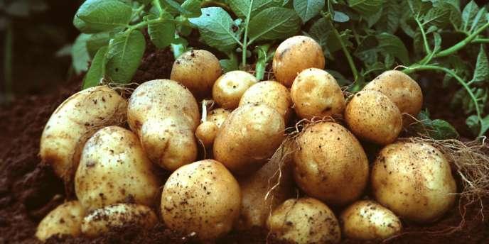 Des pommes de terre transgéniques Amflora, en mars 2010.