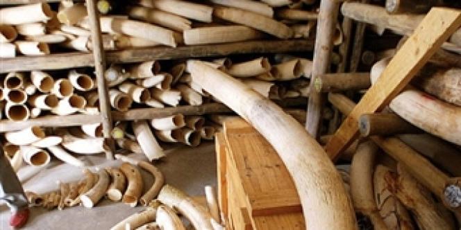 Le commerce international de l'ivoire a été interdit en 1989 par la convention des Nations unies sur le commerce international des espèces de faune et de flore sauvages menacées d'extinction.