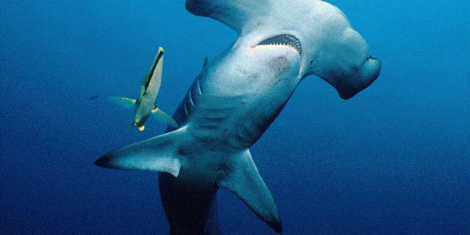 Un requin-marteau.