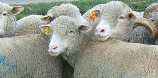 Une histoire de moutons, en guise de vengeance pour les élèves de SES fâchés avec les maths.