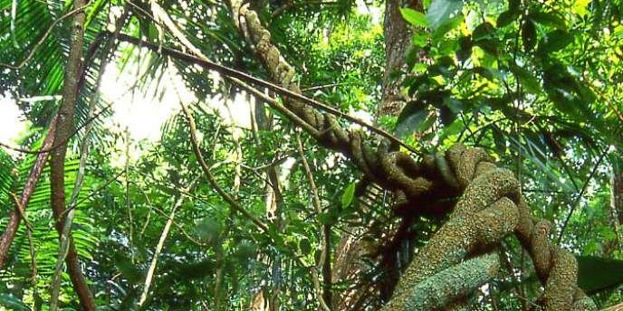 La forêt d'Anfiky, au nord de Madagascar. Entre 12 000 et 20 000 hectares auraient été rasés depuis la prise de pouvoir contestée d'Andry Rajoelina, en 2009.