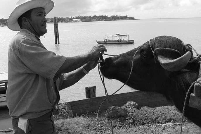 Un travailleur et son buffle, sur l'île de Marajo.