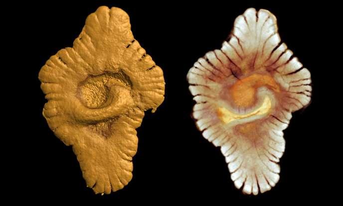 Image de synthèse d'un des fossiles découvert au Gabon.