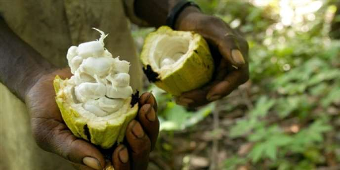 Une vague de sécheresse a sévi en Afrique de l'Ouest. La Côte d'Ivoire est l'un des principaux pays  pourvoyeurs de fèves au monde. Sa production devrait baisser pour la troisième année consécutive.