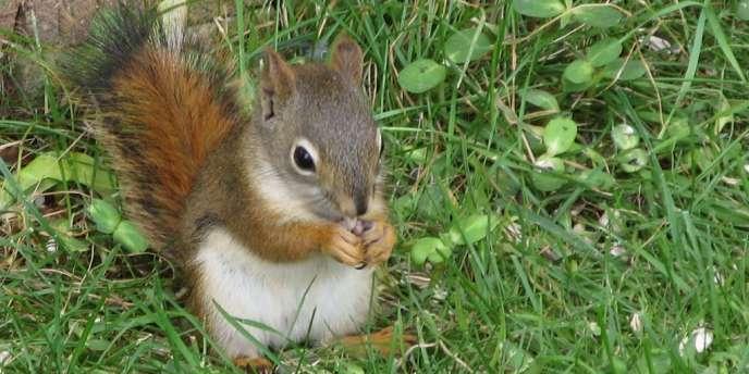 Le retour de l'écureuil, animal très répandu au Royaume-Uni, sur les étals des bouchers fait scandale.