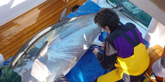 Une scientifique du programme Census of Marine Life lors d'une opération de marquage d'un thon rouge.