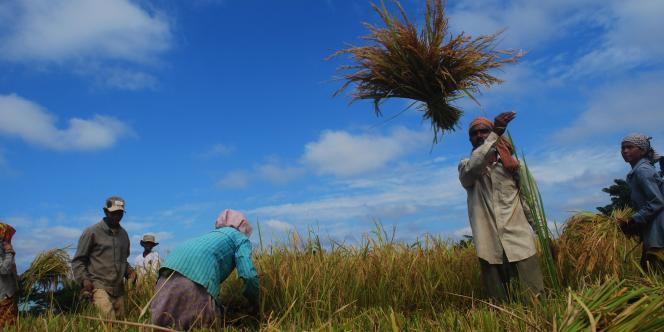 Dans une rizière à Singrijan, dans l'Etat indien du Nagaland, jeudi 21 octobre.