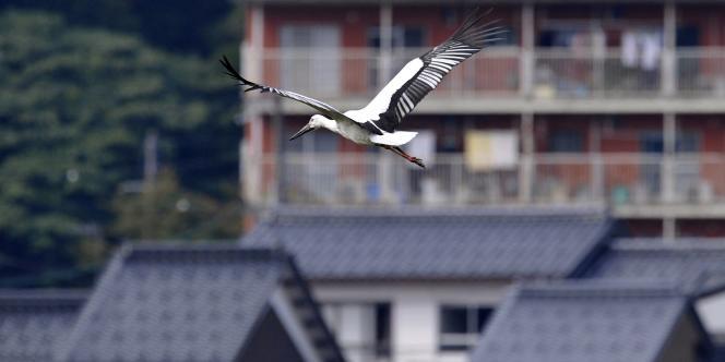 Des cigognes blanches ont été réintroduites dans la région de Toyooka, au Japon.