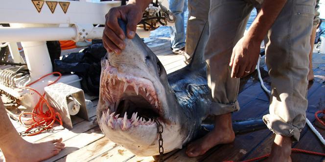 Un des requins soupçonnés d'avoir attaqué des touristes a été attrapé.