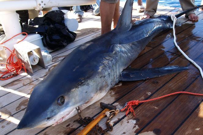 Le requin soupçonné d'avoir attaqué les deux Russes est un requin longimane. L'autre est un requin mako (photo).