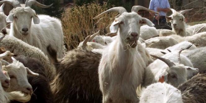 Un élevage de chèvres à Denver (Colorado).