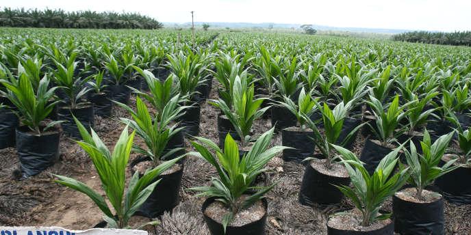 Plantations de la Société de Palme de Côte d'Ivoire, en 2008.