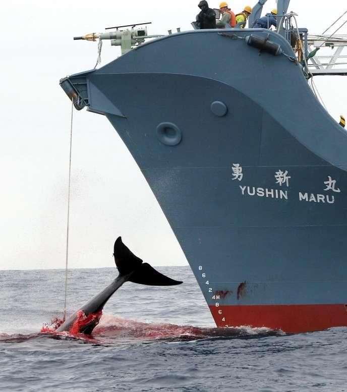 Un navire japonais capture une baleine dans l'Antarctique, en 2006.