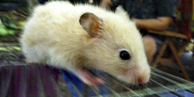 Shoji Takeuchi, de l'Institut de science industrielle de Tokyo, et son équipe, sont ainsi parvenus à stabiliser le taux de sucre d'une souris diabétique à laquelle ils avaient implanté une de leur création renfermant des cellules du pancréas sécrétant de l'insuline.