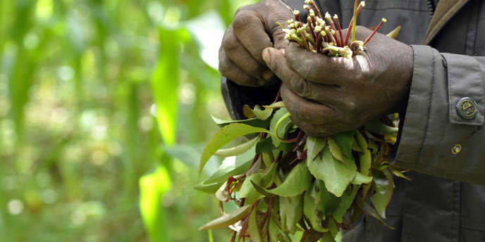 Culture du khat au Kenya. La durée de vie éphémère de ces feuilles au goût de pissenlit transforme les trafics en course contre la montre.
