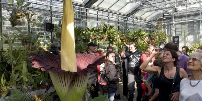 La fleur se compose d'un pistil long de près de deux mètres, et d'une couronne de couleur violet pourpre.