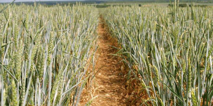 La Confédération paysanne a demandé, mardi 14 août, l'arrêt de la production des agrocarburants à base de céréales.