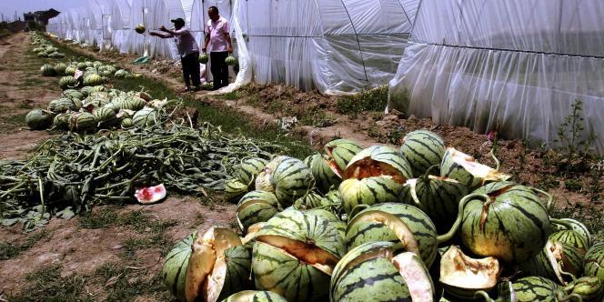 Près de 50 hectares de cultures de pastèques dans la ville de Danyang, située dans la province orientale du Jiangsu, ont été perdus en raison de ce phénomène, qui pourrait s'expliquer par l'utilisation excessive de forchlorfenuron, un accélérateur de croissance.