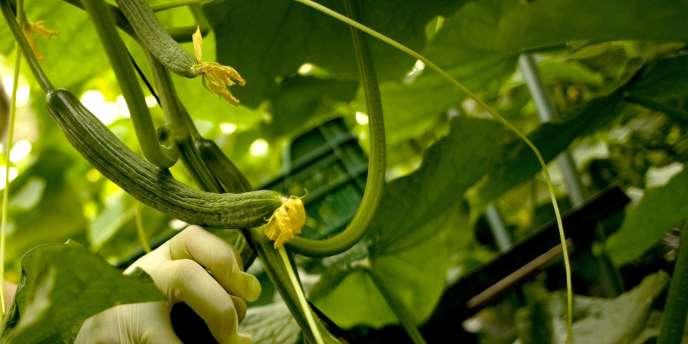 Les cultures sous serre ne sont pas épargnées. L'absence de luminosité réduit la production. C'est le cas notamment pour les tomates et les concombres.