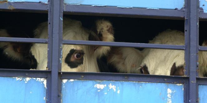 En août 2000, des  bêtes sont chargées dans un camion pour être conduites à l'abattoir après la découverte d'un vache atteinte de la maladie de la vache folle (EBS).