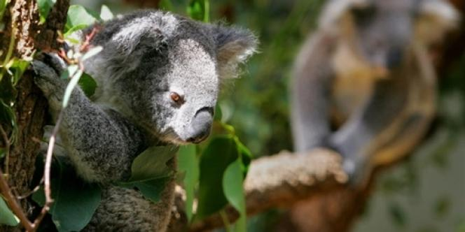 Avant l'arrivée des colons, l'Australie comptait quelque 10 millions de koalas. Aujourd'hui, leur population est estimée à 43 000.