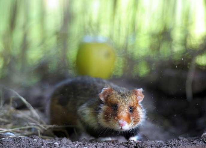 Le grand hamster d'Alsace est en voie de disparition depuis 1993.