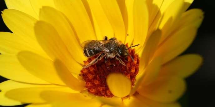 L'abeille domestique