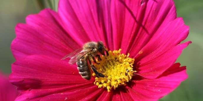 Une abeille domestique