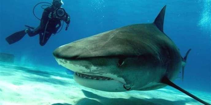 Un requin-tigre. A La Réunion, sept personnes ont été tuées par des squales depuis février 2011.