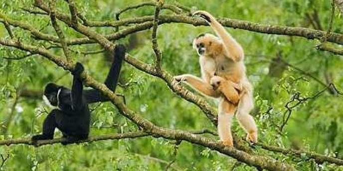 La population de gibbons à joues blanches aurait décliné de 80 % en l'espace de quarante-cinq ans.